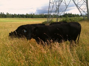 Cattle Grazing Under Power Lines